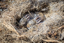 Baby Rabbits In The Nest