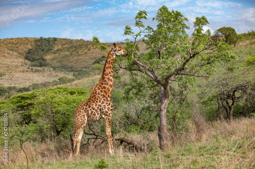Photo giraffe in the south African Savannah