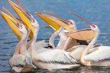 Pink Pelicans In Walfish Bay N...