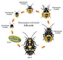 Variegated Caper Bug, Stenozyg...
