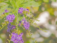 Soft Focus Golden Dewdrop Flowers Blossom Blooming On Branches With Nature Blurred Background, Other Name Is Pigeon Berry And Skyflower, Duranta Erecta Is A Species Of Flowering Shrub In The Verbena.