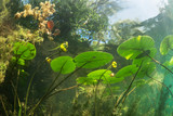 Beautiful yellow Water lily (nuphar lutea) in the clear pound. Underwater shot in the fresh water lake. Nature habitat. Unerwater world. Underwater view of a pond in summer.