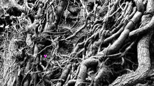 Purple Cyclamen Proudly Grows Among Intertwined Bush Roots, Color With Black And White Mix, Italy.
