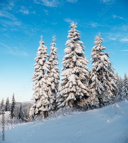 Obraz Fir-trees in winter sunny day - fototapety do salonu