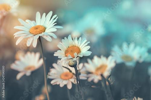 Daisy flower in meadow lit by sunlight (sunbeams)