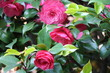 Flowers of Camellia japonica in spring, Italy
