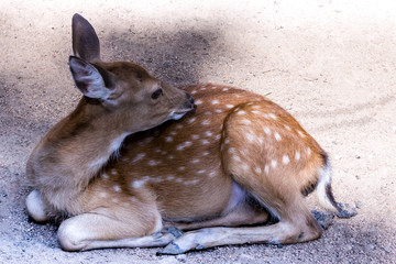 cute fluffy deer bambi spotted white patches on brown wool lying on the ground close-up