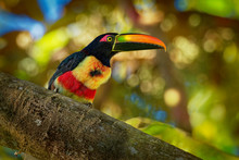 Is A Toucan, A Beautiful And Colorful Near-passerine Bird With Big Beak