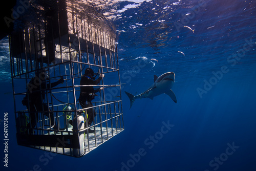Fotografie, Obraz Great White Shark  in cage diving