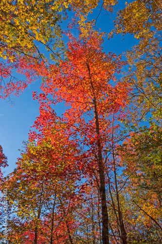 Photo  Spectacular Red Maple in the Fall