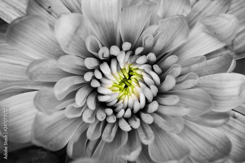 macro black and white chrysanthemum flower