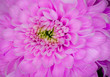 canvas print picture - beautiful light pink macro gerbera flower