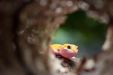Leopard Gecko On Natural Backg...