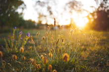Field Flower On A Green Meadow In Spring Or Summer Evening In Sunset, Golden Hour