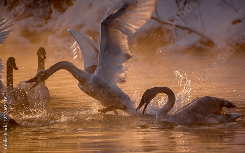 Foto op Canvas Zwaan Swans are playing in open water of a lake in morning fog under sunrise
