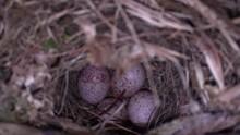 4 Bird Eggs Carolina Wren In Nest