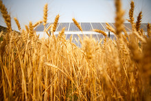 Solar Photovoltaic Farm Light Complementary Wheat Close-up