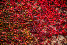 View Of Climbing Plant With Red Leaves In Autumn On The Old Stone Wall