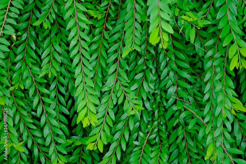 Wall Murals Tropical Leaves Green leaf nature background, Natural texture