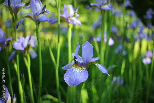 Beautiful blooming iris flower in garden.