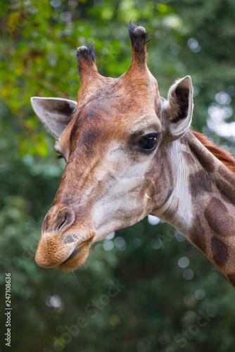 Foto  Portrait of a giraffe. Chiang Mai