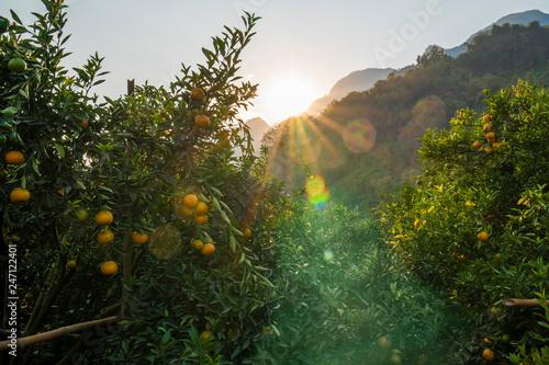 Fotografie, Obraz  Ripe orange trees in orange farm plantation during sunset
