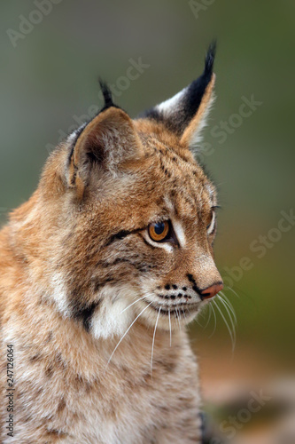 Wall Murals Lynx The Eurasian lynx (Lynx lynx), portait. Subadult cat portait.