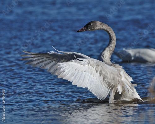 Fototapeta swan on the lake obraz na płótnie