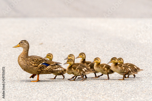 Obraz na plátne  A mother duck and her ducklings crossing a road in a line