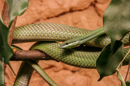 close up image of a beautiful Green Mamba Canvas Print