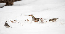 White-throated Sparrow And Flo...