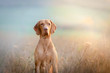 canvas print picture - Hungarian hound pointer vizsla dog in autumn time in the field