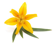 Yellow Lily With Leaves.