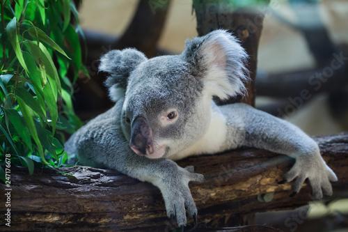 Garden Poster Koala Queensland koala (Phascolarctos cinereus adustus)