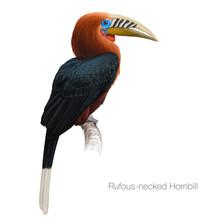 Rufous Necked Hornbill Hand Drawn Vector Illustration