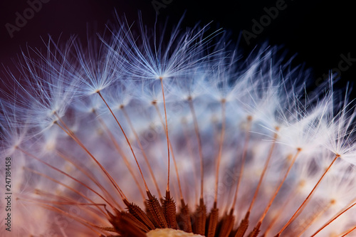 Poster Dandelion white fluffy dandelion flower head with light little seeds on dark background