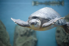 Pig-nosed Turtle (Carettochelys Insculpta), The Fly River Turtle.