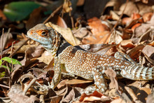 Oplurus Cuvieri, Known As The Collared Iguanid Lizard, Or Madagascan Collared Iguana. Ankarafantsika National Park, Madagascar Wildlife And Wilderness