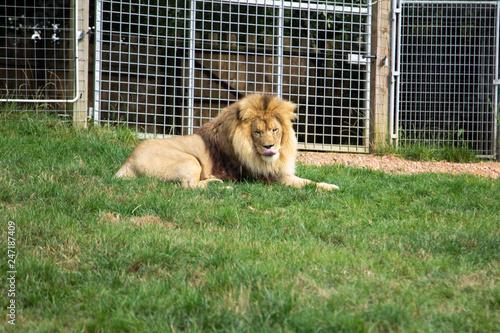 Zdjęcie XXL Lew leży na zielonej trawie w zoo. Natura