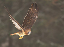 View Of A Flying Red-tailed Hawk With A Great Wingspan With A Forest On Background