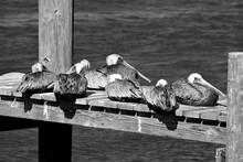 Pelicans Resting On Boat Dock At Florida, USA