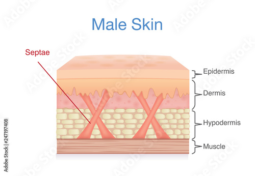 anatomy of skin layer of male  illustration about medical diagram