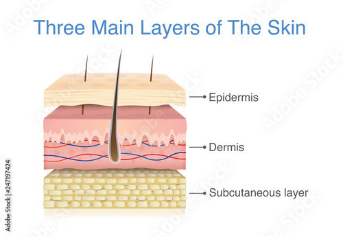 Foto Three main layer of the human skin