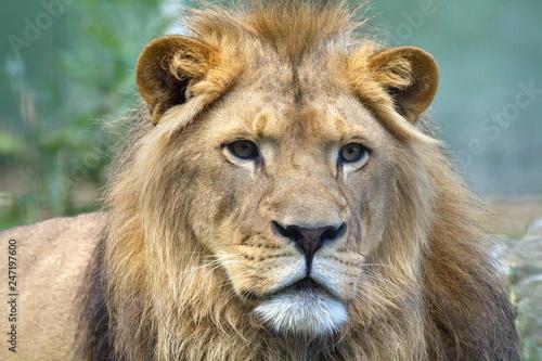 Poster Lion König der Tiere