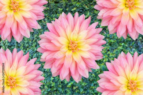 Foto auf Leinwand Blumenhändler Kogana Fubuki Dahlia,Beautiful pink Dahlia,Closeup of a pink Dahlia (Asteraceae) View to blooming Dahlia Flowers in the Summertime,Ornamental Flowers.