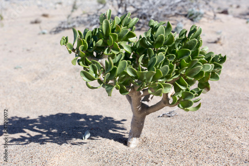 Fotografia  small plant in the desert of Namibia