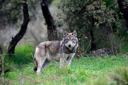Stickers pour porte Loup Europäischer Wolf (Canis lupus lupus) - gray wolf