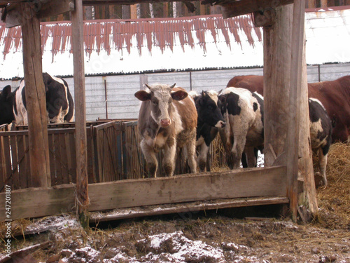 Stickers pour portes Panda Cattles at the russian winter farm