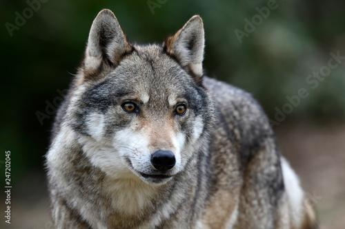 Ingelijste posters Wolf Europäischer Wolf (Canis lupus lupus) - gray wolf