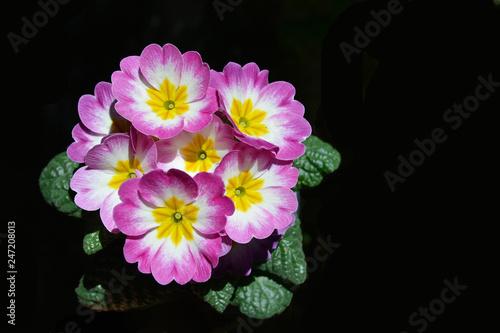 Primulas Primaveras Flores Naturales Fondo Negro Buy This